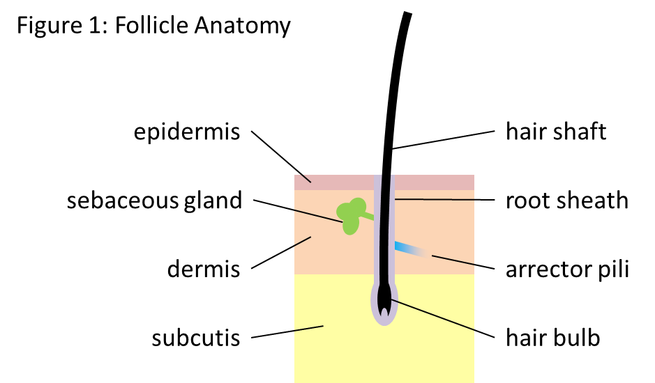 The anatomy of the hair follicle
